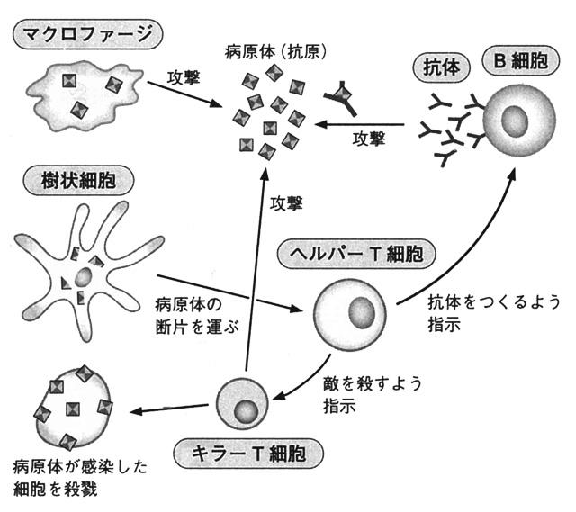 免疫の使徒たち イメージ